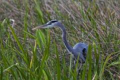 一个伟大蓝色的苍鹭的巢偷偷靠近在高草的牺牲者 库存图片