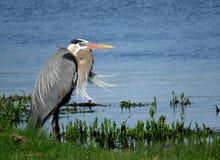 一个伟大蓝色的苍鹭的巢在一个大风天 免版税库存图片