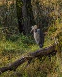 一个伟大蓝色的苍鹭的巢在他下注意水运动 图库摄影