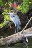 一个伟大蓝色的苍鹭的巢在俄亥俄 免版税库存照片