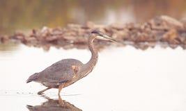 一个伟大蓝色的苍鹭的巢在狩猎方式下 图库摄影