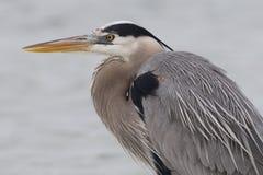 一个伟大蓝色的苍鹭的巢的特写镜头-皮尼拉斯县,佛罗里达 免版税库存照片