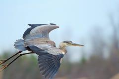 一个伟大蓝色的苍鹭的巢的特写镜头 免版税库存图片