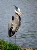 一个伟大蓝色的苍鹭的巢的画象在湖的 库存图片