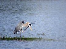 一个伟大蓝色的苍鹭的巢的画象在湖的 免版税库存照片