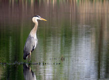 一个伟大蓝色的苍鹭的巢的画象在湖的 免版税图库摄影