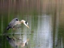 一个伟大蓝色的苍鹭的巢的画象在湖的 库存照片