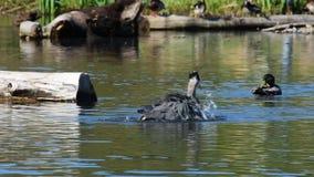 一个伟大蓝色的苍鹭的巢设法抓鱼,但是不能得到任何鱼 股票视频