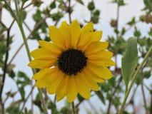 一个俏丽的向日葵 库存照片