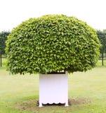 一个修剪的花园结构树 库存图片