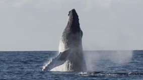 一个充分的驼背鲸突破口的极为少见的射击 股票视频