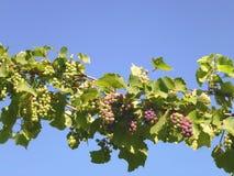 一个克罗地亚酒葡萄园 免版税库存照片
