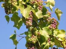 一个克罗地亚酒葡萄园 库存照片