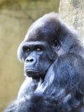 一个公大猩猩大猩猩的特写镜头画象,看您 免版税库存照片