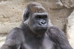 一个公大猩猩大猩猩的特写镜头 图库摄影