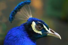 一个公孔雀的头的特写镜头 免版税库存图片