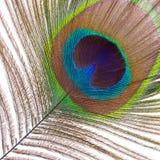 一个公孔雀的羽毛 免版税库存图片