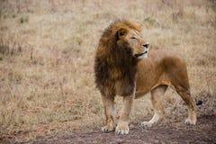 一个公狮子观看的牺牲者的侧视图在Ngorongoro国家公园(坦桑尼亚) 免版税库存图片