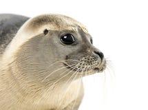 一个公用印章的特写镜头,海豹属vitulina, 8个月 免版税库存图片