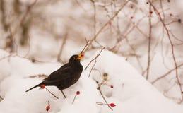 哺养在雪的莓果的黑鹂 免版税库存图片