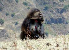 一个公gelada狒狒被看见迎风在Hudad山脉的在拉利贝拉埃塞俄比亚附近 免版税图库摄影