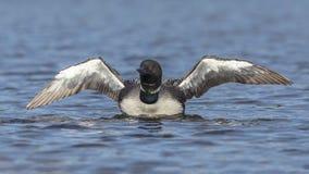 一个共同的懒人从水起来震动干燥它的翼- Onta 图库摄影
