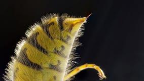 从一个共同的欧洲黄蜂的有刺的动物 库存照片
