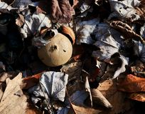 一个共同的马勃菌蘑菇 库存照片