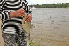 一个共同的鲂、淡水鲂,古铜色鲂或者鲤鱼鲂在渔夫` s手上 免版税库存图片