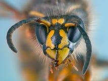 一个共同的黄蜂的画象 库存照片