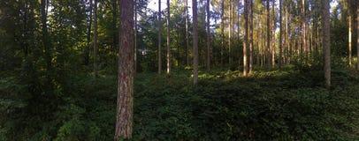 一个具球果森林的全景温暖的晚上光的 库存照片