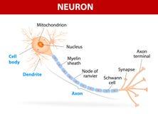 一个典型的神经元的结构 免版税库存照片