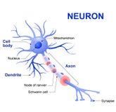 一个典型的神经元的结构 库存图片