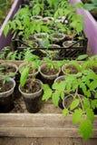 一个农场的温室蕃茄幼木的耕种的 库存照片