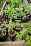 一个农场的温室蕃茄幼木的耕种的 库存图片