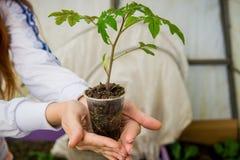 一个农场的温室蕃茄幼木的耕种的 图库摄影