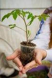 一个农场的温室蕃茄幼木的耕种的 免版税库存照片