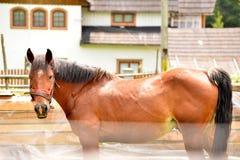 从一个农场的Grig马在罗马尼亚 库存照片