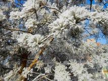 一个冬天晴天,与用雪盖的一个土气庭院的一个农村风景 树冻结的分支在霜的反对天空蔚蓝 库存图片