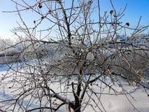一个冬天晴天,与用雪盖的一个土气庭院的一个农村风景 树冻结的分支在霜的反对天空蔚蓝 免版税图库摄影
