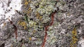 一个几百年的公园纹理的时期、在吠声的植物和抓痕之前腐蚀的吠声细节与时间造成的青苔 股票视频