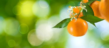 一个分支的图象用蜜桔在绿色背景的庭院里 免版税库存照片