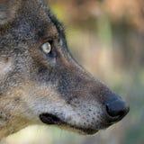 一个利比亚狼天狼犬座signatus头的细节 免版税库存图片