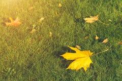 一个加拿大槭树特写镜头的叶子 库存照片