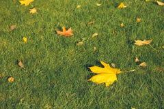 一个加拿大槭树特写镜头的叶子 免版税库存照片