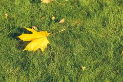 一个加拿大槭树特写镜头的叶子 库存图片