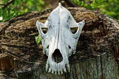 一个动物的一块大白色头骨在一个灰色树桩的 库存照片