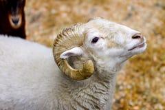 一个动物的白色图象与垫铁的产小羊 免版税库存图片