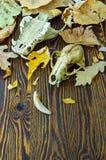 一个动物的头骨在秋叶的 免版税库存图片