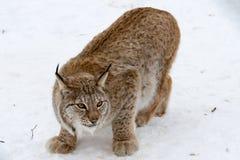 一个北冰的天猫座 图库摄影